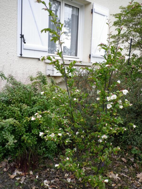 Quelques floraisons 441861CamelliaIMGP1236