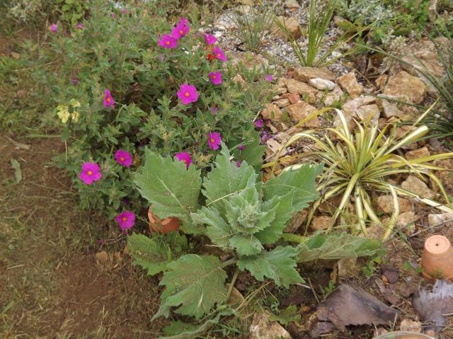Salvia aethiopis 446331DSCF5913