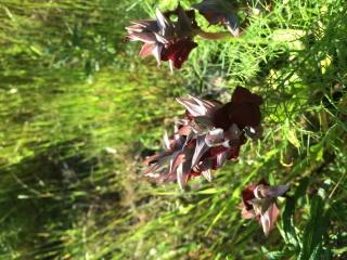 Orchidées corses  446773image