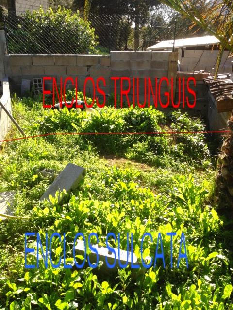 Enclos sulcata/Triunguis 450582Giovanni073