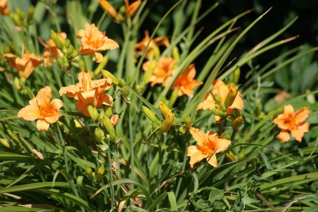 Hemerocallis - des variétés - Page 6 452448018