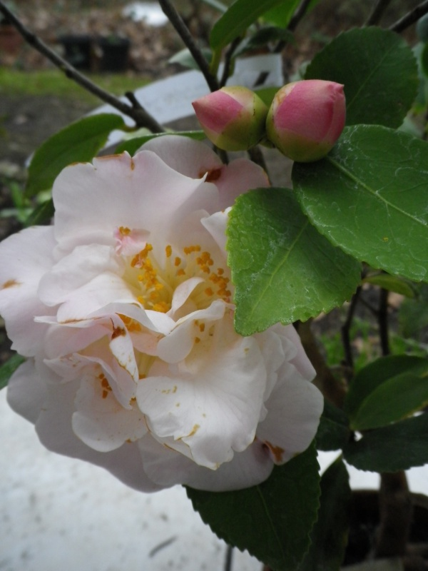 (40) Plantarium et chemin de ronde - Gaujacq 454411CamelliaHighFragrance260216IMGP3890