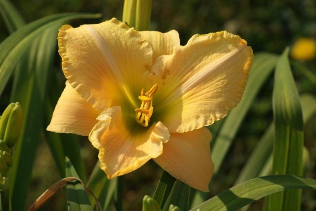 Hemerocallis - des variétés - Page 6 456070002