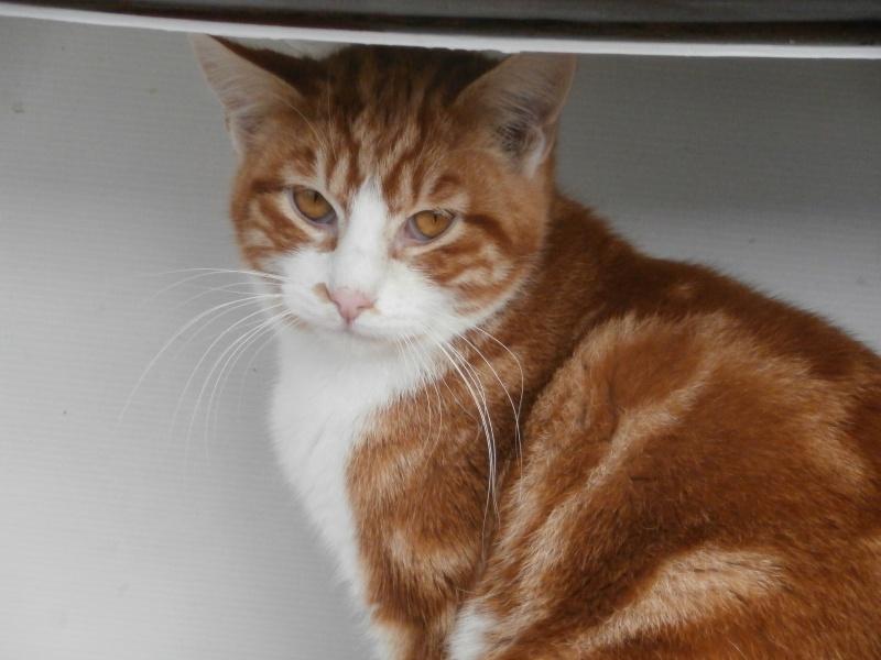 GATO (chaton mâle roux et blanc) 466218P1212075