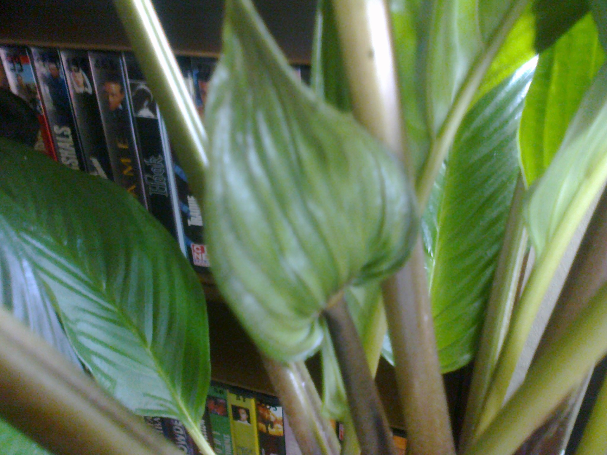 tacca green - Page 5 468675Photo0107