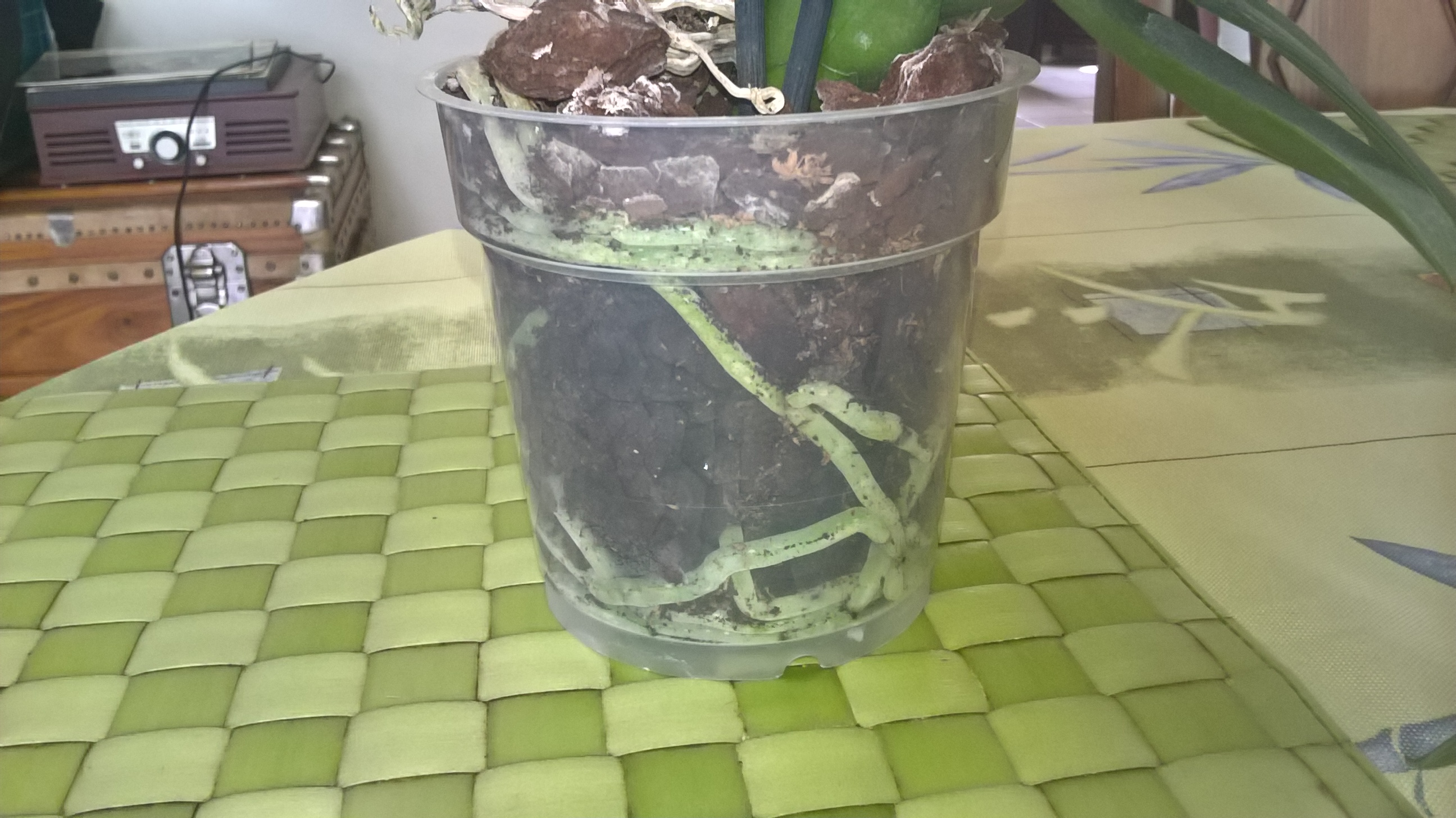 phalaenopsis défleuries  - Page 2 469751WP20160730112719Pro