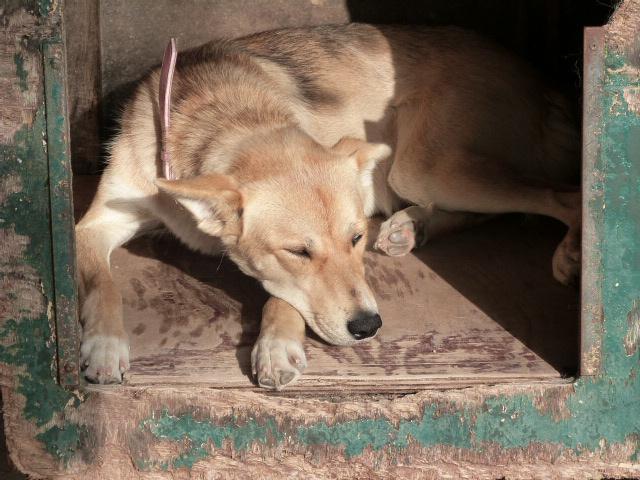 LAYCE Husky x Labrador (f) Née le: 01/06/2013 REFU86 ADOPTEE 471819138rLayce1