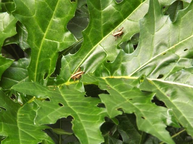 Acanthus mollis - et généralités sur le genre  473013acanthe2