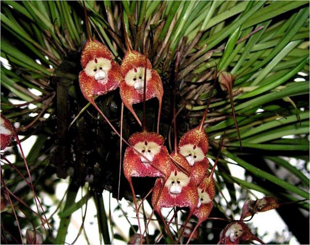 orchidée singe 493137ATT00001