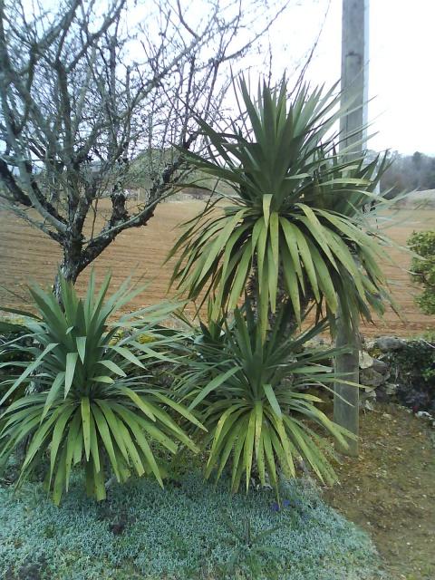 Yucca gloriosa 495606YuccagloriosaCarsac