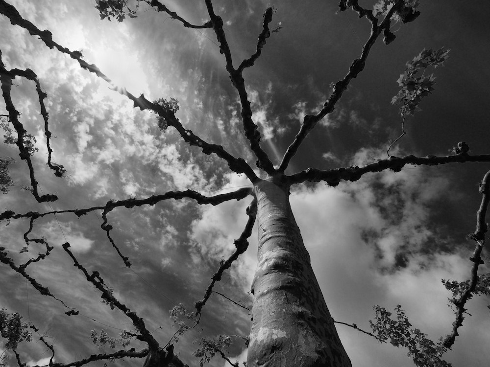 la ronde des arbres. 496797barb008