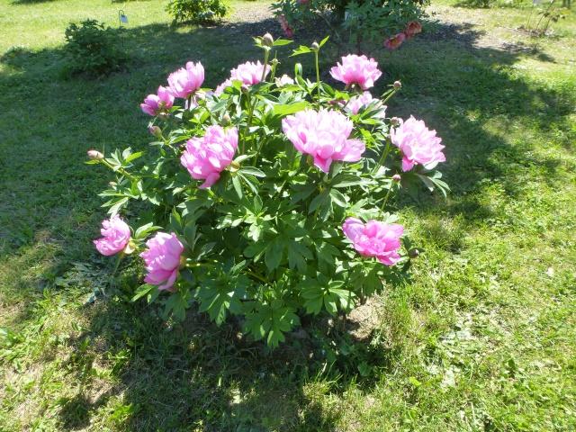 Paeonia - pivoines herbacées - Page 4 500892P1050324
