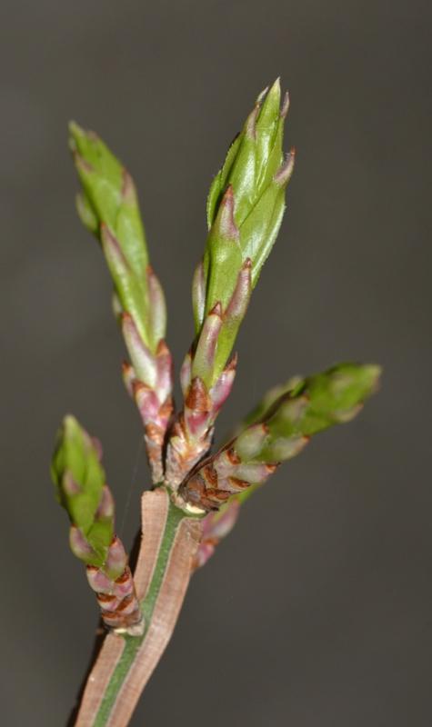 Euonymus alatus - fusain ailé 501819DSC4998