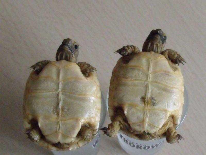 identification de 2 petites tortues  504586302