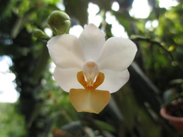 Phalaenopsis Memoria Liu Jin Chyuan 507125IMG8654