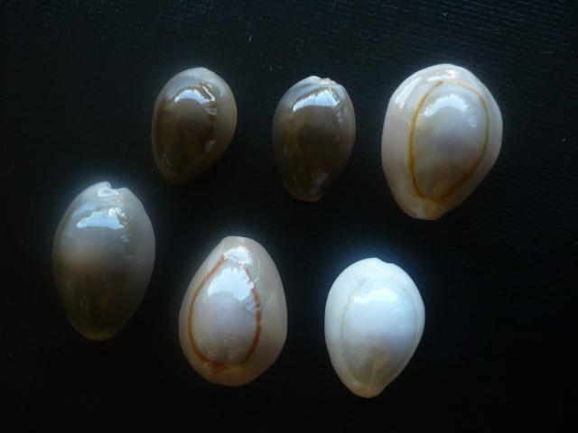 Monetaria annulus annulus  -   (Linnaeus, 1758) 516308P1040613