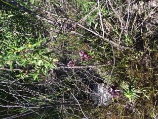 Orchidées corses  518259image