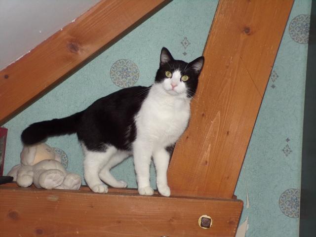 KIT-KAT chat noir et blanc 1 an FIV+ (ADPK 35) 5211691030621