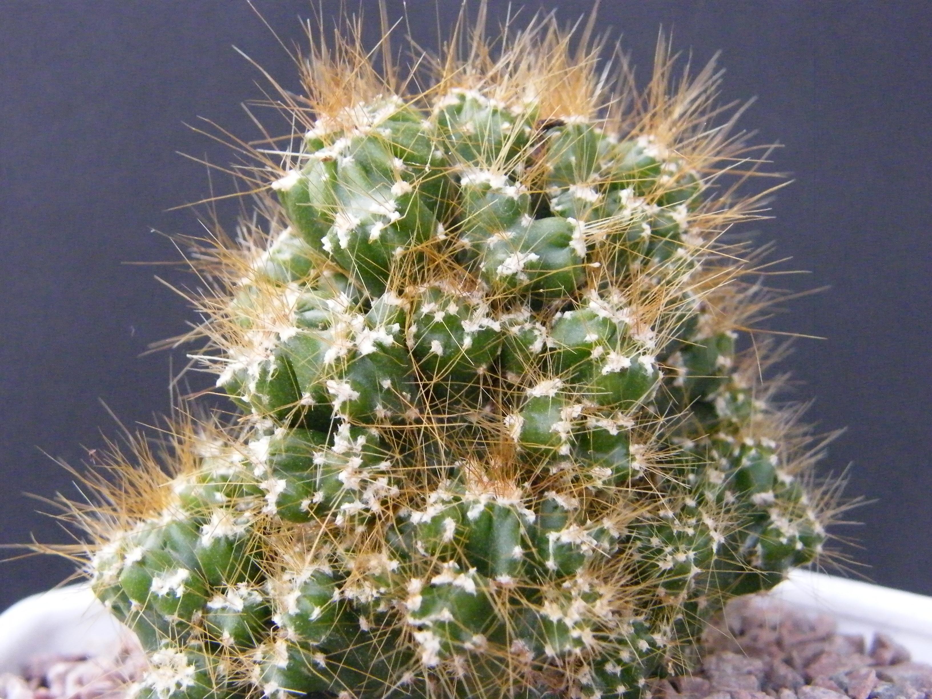 IDENTIFICATION (Cereus peruvianus fa monstruosus) 522245Dec2010410