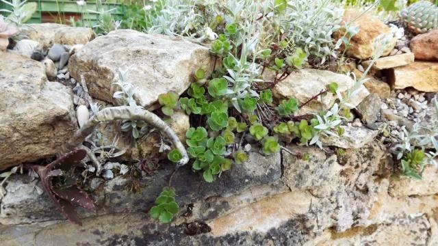 Phedimus spurius (ex Sedum) 531448Sedumspuriumvert