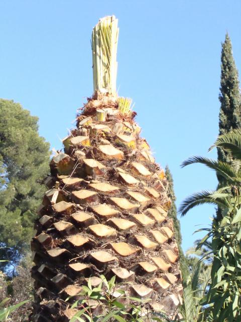 palmier, après le desespoir, un petit espoir.... 534127palmier007