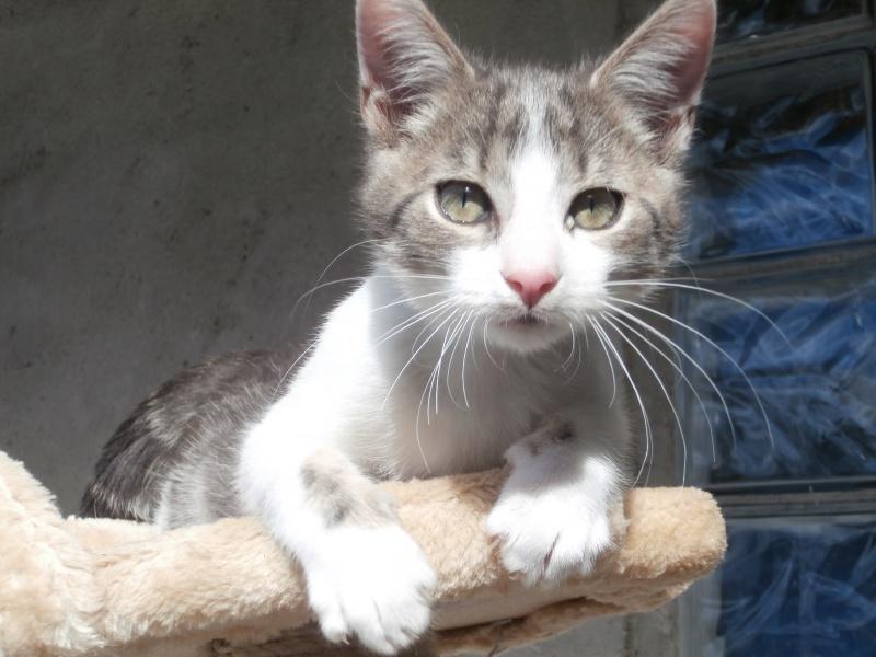 ARTIFICE (chaton gris et blanc) 536581P9171725
