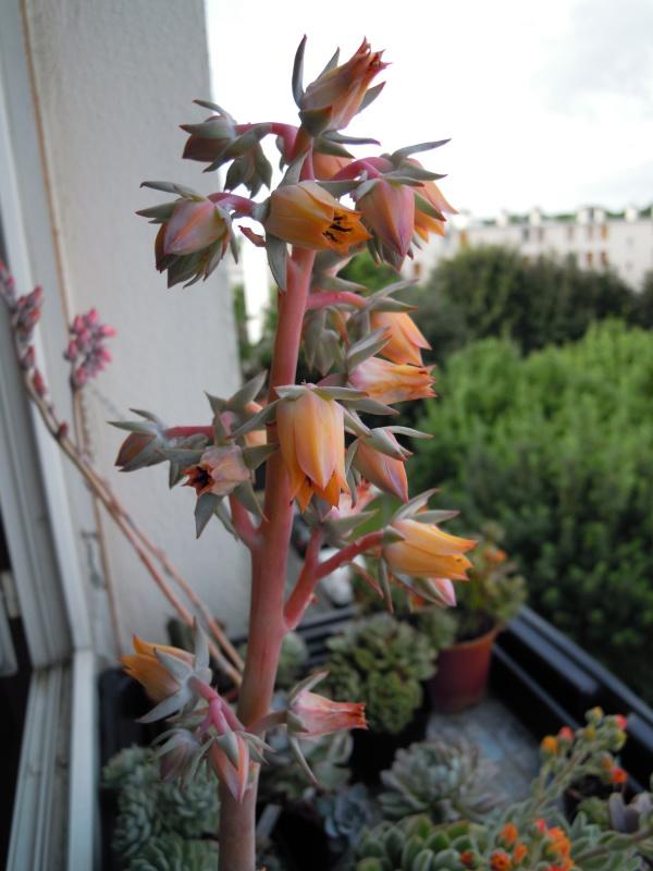 un bouquet de fleurs d'Echeveria pour fêter l'arrivée du soleil! 539259subrigidafleurs01
