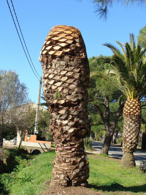 palmier, après le desespoir, un petit espoir.... 539574palmier002