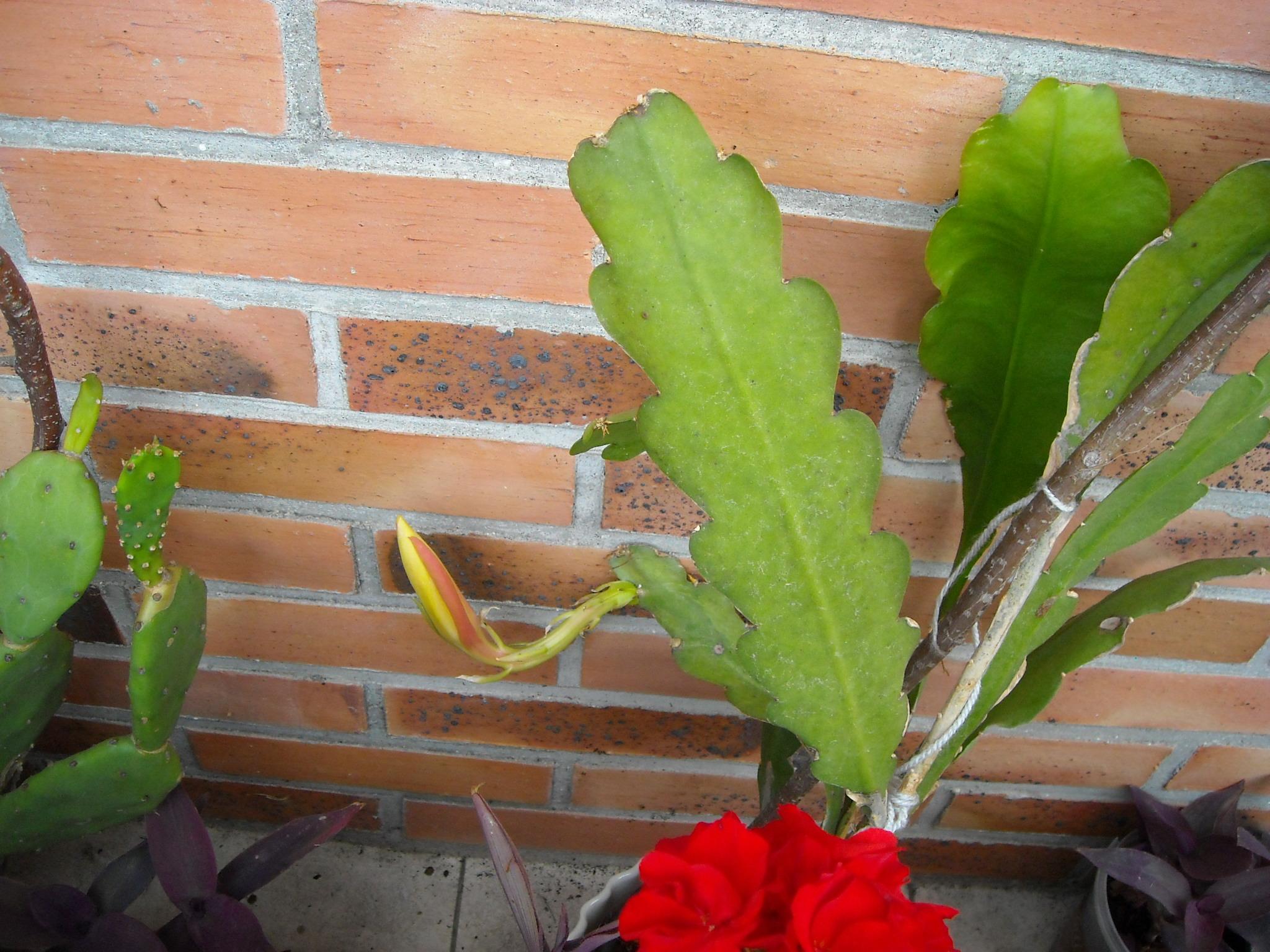 Comment arrosez vous vos succulentes et cactus????? 544794DSCN6524