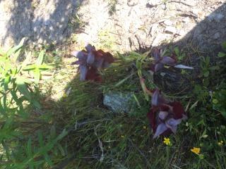 Orchidées corses  546291image