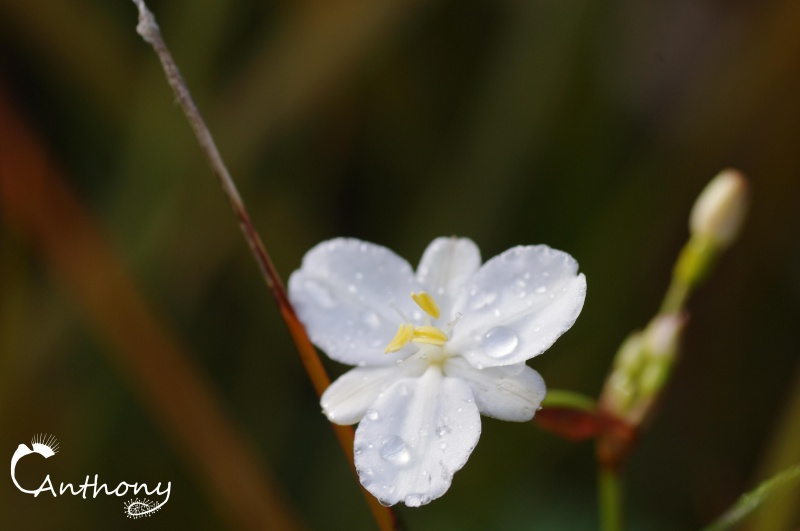 Fleur de graminée 551865IMGP5065