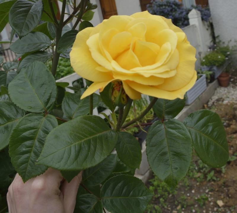 tous ces rosiers que l'on aime - floraisons - Page 2 552728roses1