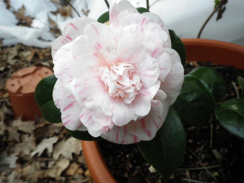 Camellia japonica punctata 'Boutourlin' (?) 557323CamelliaMmeLuxeyidentifierIMGP3815