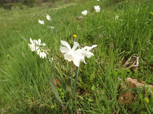 Narcissus - les narcisses - Page 5 573657DSCF3206