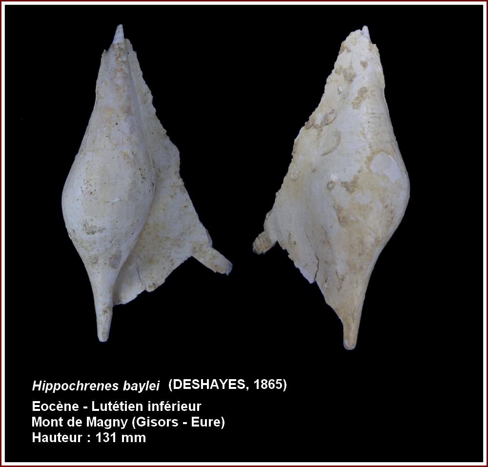 Strombidae - † Hippochrenes baylei (Deshayes, 1865) - Lutécien moy. (Gisors 27) 573700plbayleigisors2