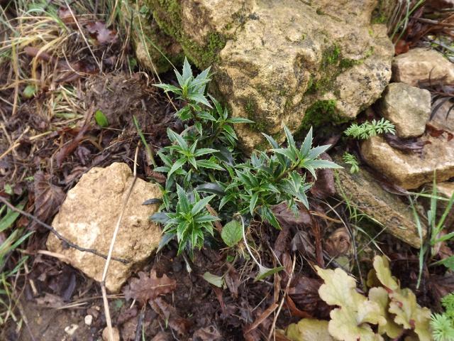 Ilex aquifolium - houx commun  - Page 2 577751DSCF4711