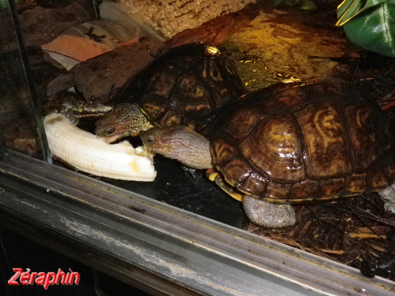 Aménagement d'un aqua-terrarium pour espèce semi-aquatique 57978907janvier20127