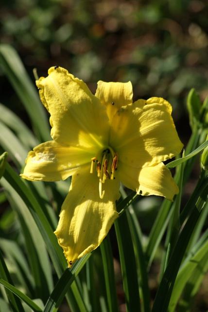 Hemerocallis - des variétés - Page 6 579998001