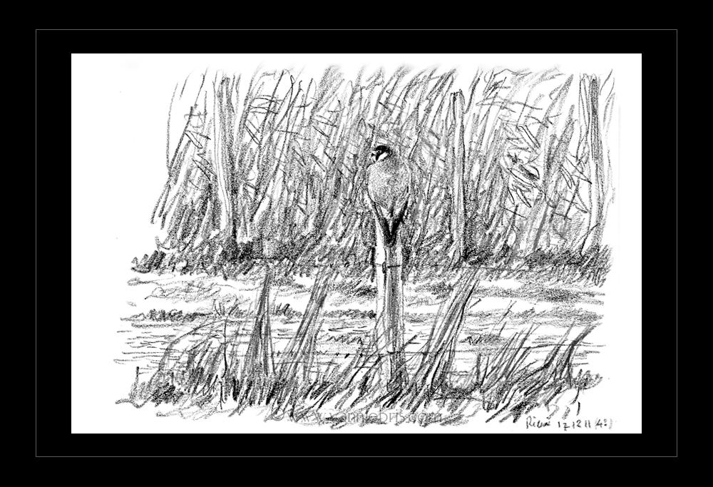 hiboux et busards dans les marais de Redon 583032Pelerin