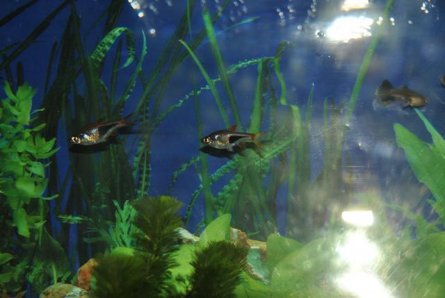 le nouvel aquarium de ma fille  587113DSC4851