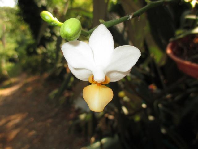 Phalaenopsis Memoria Liu Jin Chyuan 588583IMG8671