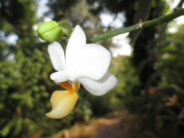 Phalaenopsis Memoria Liu Jin Chyuan 589069IMG8669