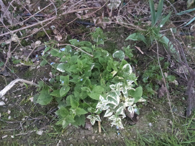 brunnera macrophylla ou myosotis du caucase - Page 3 59062520170322190858