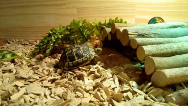 Ma tortue hermann ne mange pas depuis 1 semaine  592603tortue640x4801