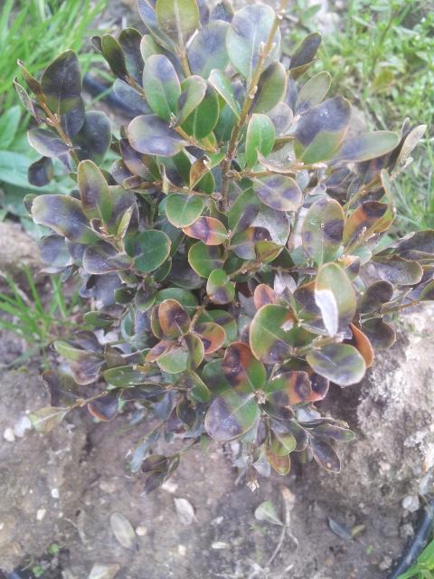 Volutella buxi et Cylindrocladium buxicola - maladies du buis 59466720141018155911