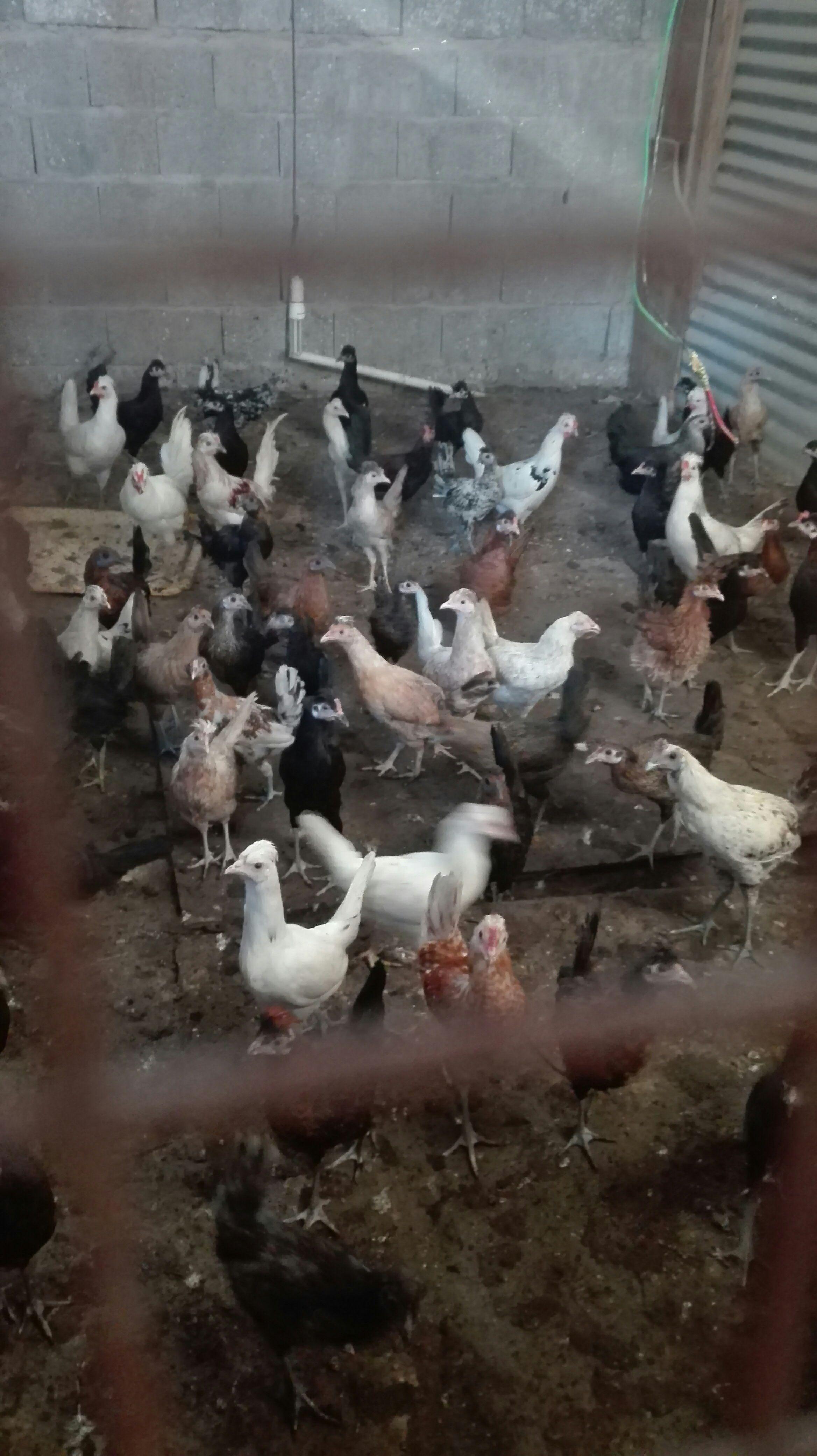 دجاج و ديوك جيدة للبيع 597215342