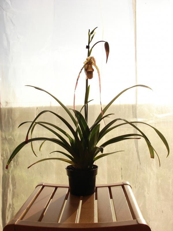 Phragmipedium Grande 'La Tuilerie' (caudatum x longifolium) 598097plante201402