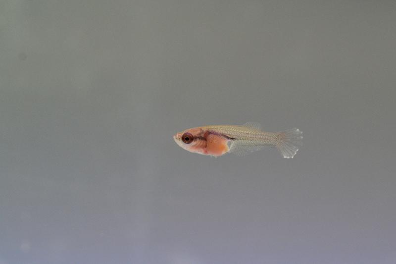 Taches blanches sur les nageoires de mes alevins 600419DSC0285