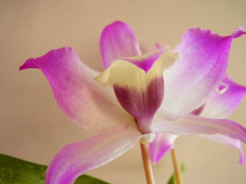 Dendrobium nobile 604368DSC05997800x600