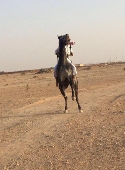 حصان شعبي للبيع بالرياض 605690273